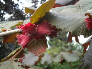 Corylus avellana Rode Zellernoot