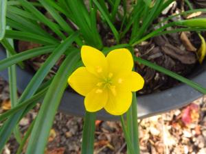 Flower of Sternbergia sicula.